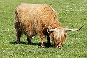 Highland cow grazing - Scotland UK