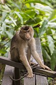 Captive Pig-tailed Macaque - Borneo Indonesia  ; WWF-Indonesia