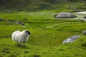 Sheep and Iron Age village - Lewis island Hebrides Scotland ; nearby Bostadh Beach