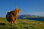 Highland cow and Grèineam island - Lewis island Scotland ; Geodh' an Fharaidh