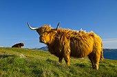 Highland cows - Lewis island Hebrides Scotland UK ; Geodh' an Fharaidh