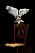 Barn Owl on chair at night - Spain