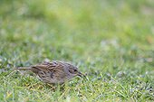 Dunnock on ground - France