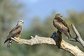 Black Kites on a branch - Spain