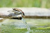 House Sparrow drinking on a pipe - Spain
