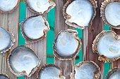 Oyster shells pearl - Rangiroa French Polynesia