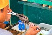 Worker in a pearl farm - French Polynesia
