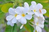 White plumeria in bloom - Tahiti french Polynesia