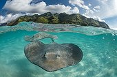 Pink whiprays under surface - Moorea French Polynesia