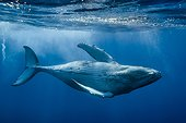 Humpback whale beneath the surface - French Polynesia