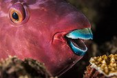 Portrait of Filament-finned Parrotfish - French Polynesia