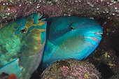 Couple of Common Parrotfish - French Polynesia