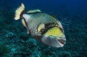 Titan triggerfish on reef - French Polynesia