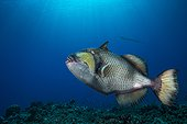 Titan Triggerfish above the reef - French Polynesia