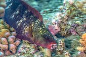 Ember Parrotfish eating coral on reef - French Polynesia  ; being feed by scraping the surface of living corals