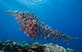 School of Blue-striped snappers - Fakarava French Polynesia