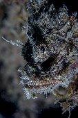 Portrait of Scorpionfish - French Polynesia