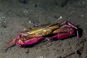 Long-eyed swimming Crab on sand - Tahiti French Polynesia