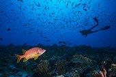Sabre Squirrelfish and diver - Fakarava French Polynesia
