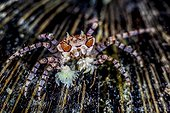 Boxer crab (Lybia tessellata) on a coconut - Indonesia