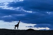 Masai Giraffe and Oxpeckers at dusk - Masai Mara Kenya