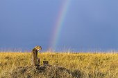 Cheetahs in the savannah and rainbow sky - Masai Mara Kenya