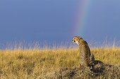 Cheetah in the savannah and rainbow sky - Masai Mara Kenya