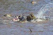 Nile crocodiles feeding on a zebra in water - Masai Mara