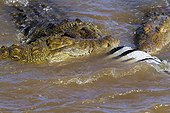 Nile crocodiles feeding on a zebra in water - Masai Mara