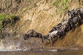 White-bearded Wildebeest crossing the Mara river - Kenya