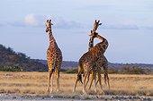 Reticulated giraffe males fighting - Samburu Kenya
