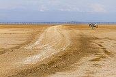 White-bearded Wildebeest on dryed lake - Amboseli Kenya