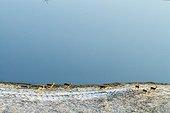 Black-faced Impalas - Okavango Delta Botswana