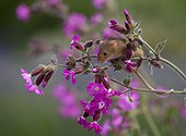 Harvest Mouse perched on Red Campion in summer - GB