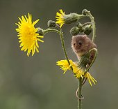 Harvest Mouse perched on wild flowers in summer - GB