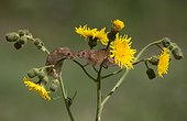 Harvest Mouses perched on wild flowers in summer - GB
