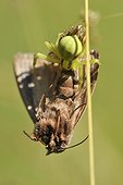 Goldenrod spider capturing a butterfly - France