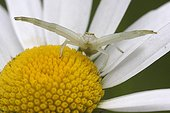 Goldenrod Spider on the lookout on Oxeyedaisy - France