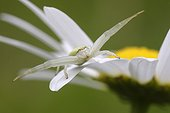 Goldenrod Spider on the lookout on a Oxeyedaisy - France