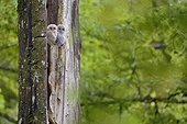 Young Tawny Owls on an old tree - Luxemburg