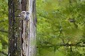Jeunes Chouettes hulottes sur un vieil arbre - Luxembourg