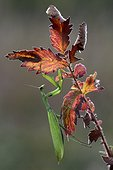 Praying mantis on the lookout in fall - France ; Calcareous grassland