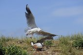 Black-headed Gull attacking an Atlantic Puffin - Farne Islands ; to steal his catch. Puffin runs to its burrow.