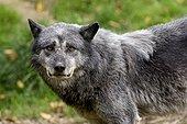 Portrait of Timber wolf - Park Ste Croix France ; Animal Park of Sainte-Croix