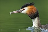 Portrait of Great Crested Grebe with a fry in the beak - France
