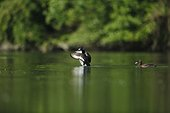 Tufted Ducks couple on water - Alsace France
