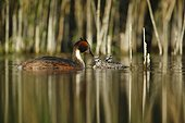 Great Crested Grebe giving a pen in her young - France