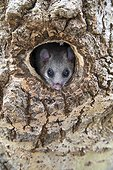 Edible Dormouse coming out an old Green Woodpecker nest - GB