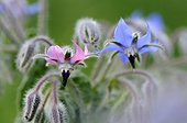 Pink and blue borage flowers - Alsace France