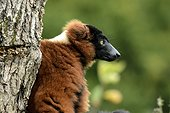 Portrait of Red ruffed lemur on the lemurs island - France  ; Animal Park of Sainte-Croix